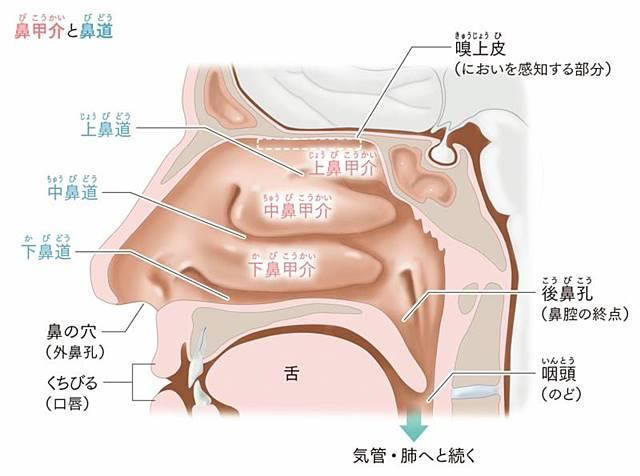 鼻腔内部の構造